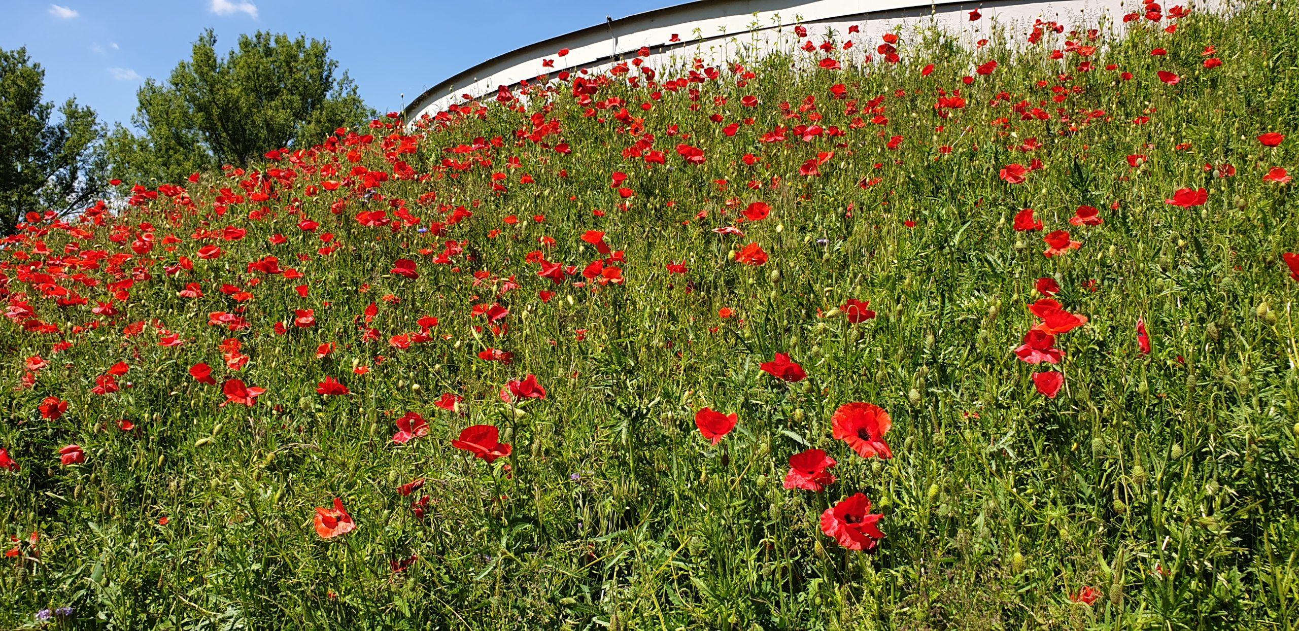 Wildblumenwiese SER
